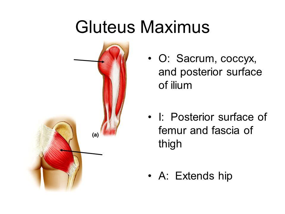 Gluteus Maximus O: Sacrum, coccyx, and posterior surface of ilium