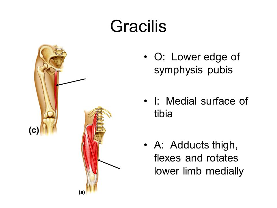 Gracilis O: Lower edge of symphysis pubis I: Medial surface of tibia
