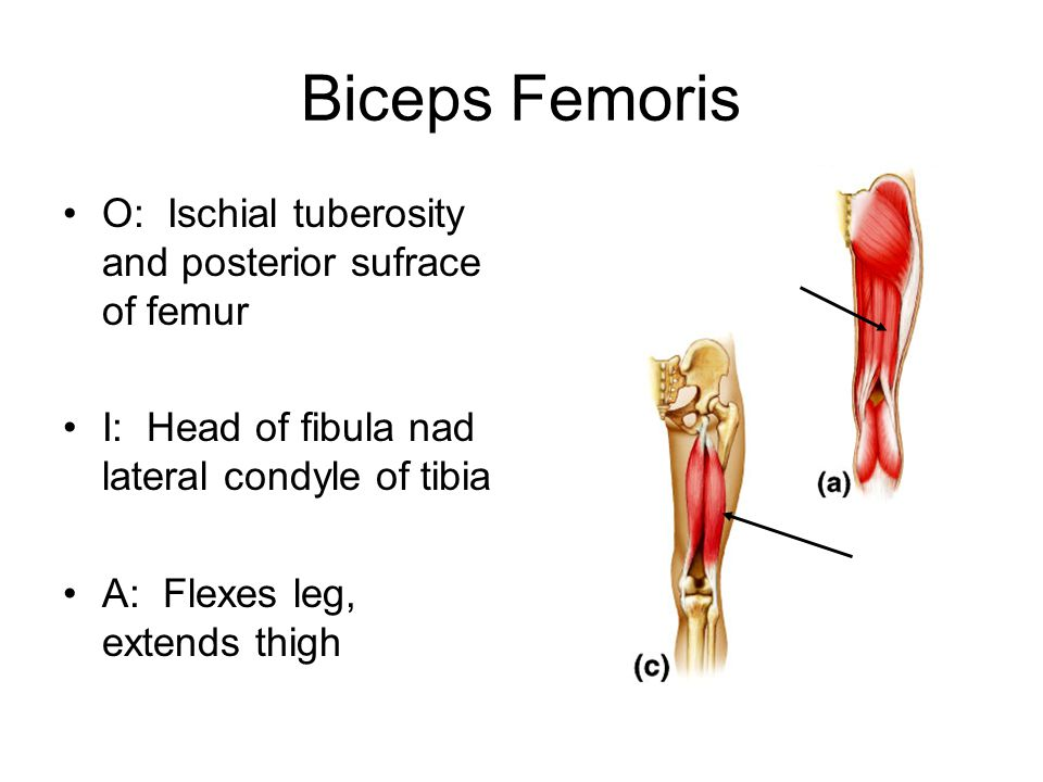 Biceps Femoris O: Ischial tuberosity and posterior sufrace of femur