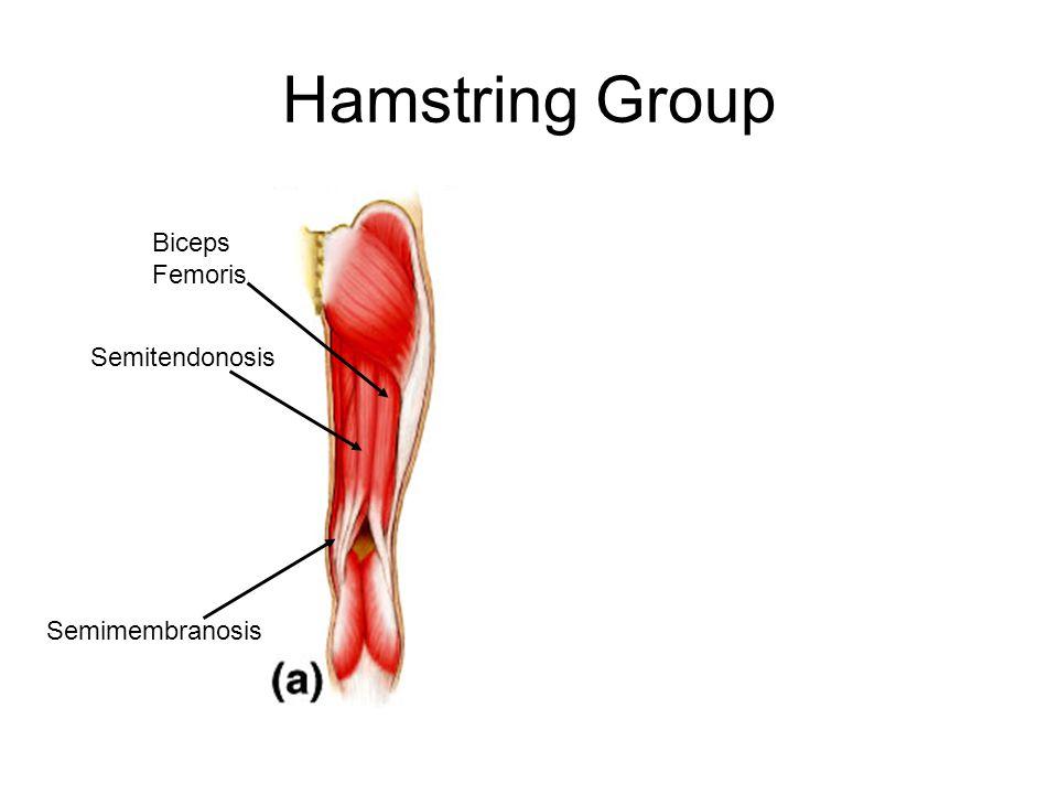Hamstring Group Biceps Femoris Semitendonosis Semimembranosis