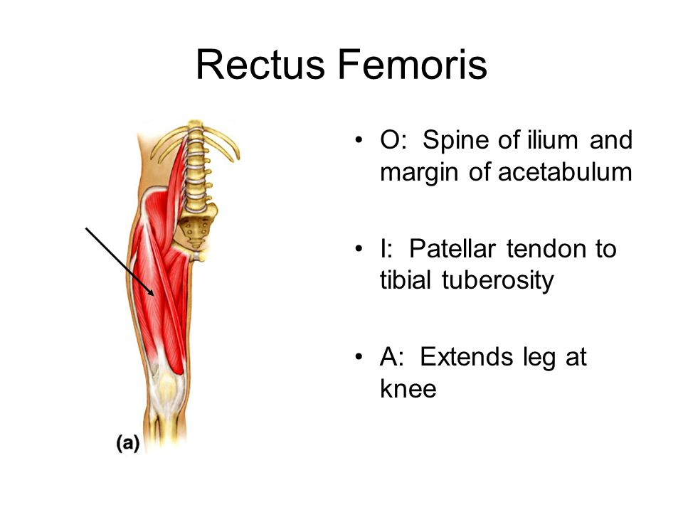 Rectus Femoris O: Spine of ilium and margin of acetabulum