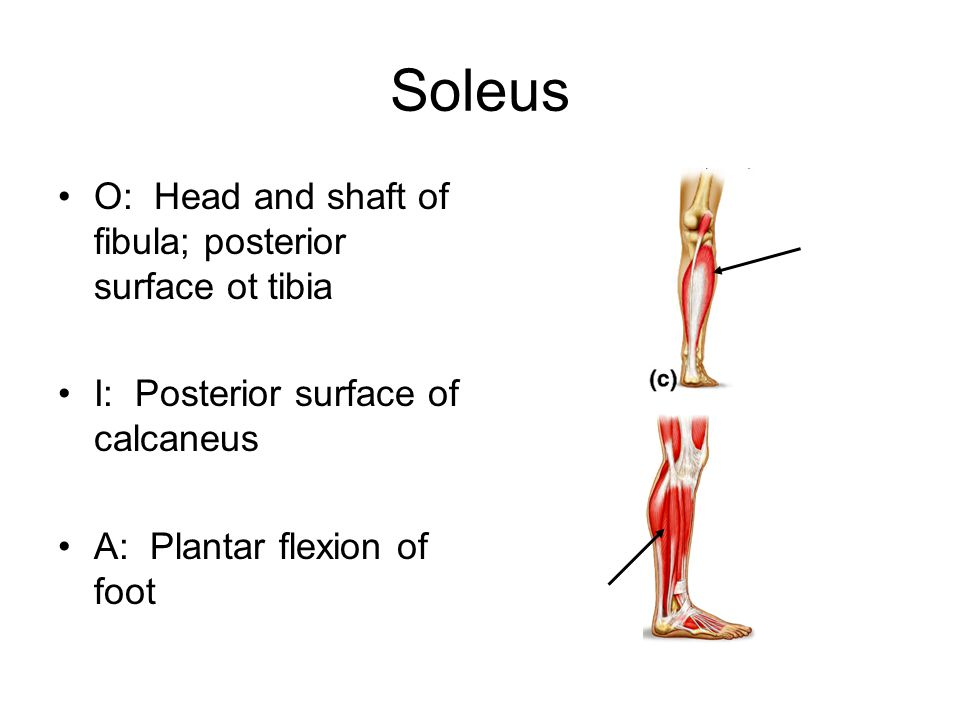 Soleus O: Head and shaft of fibula; posterior surface ot tibia