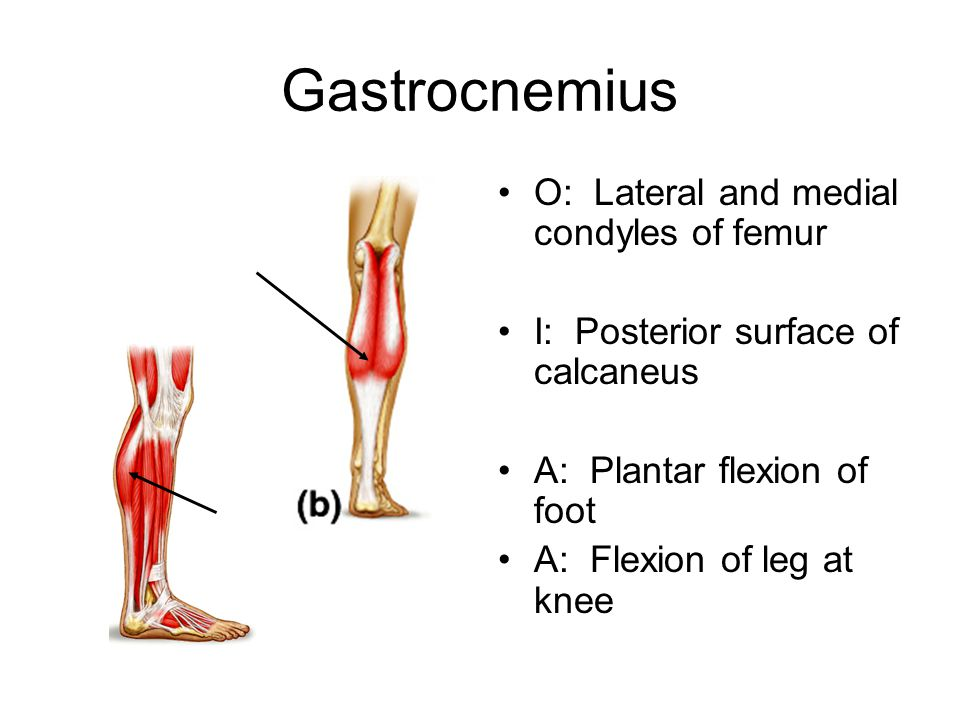 Gastrocnemius O: Lateral and medial condyles of femur