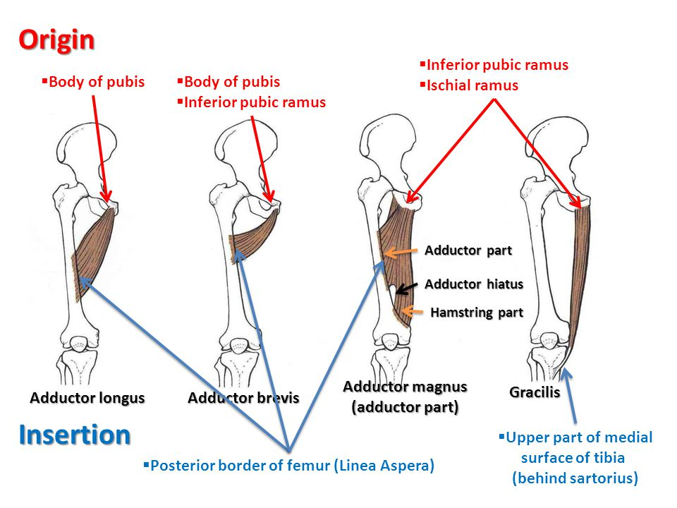 Origin Insertion Inferior pubic ramus Ischial ramus Body of pubis
