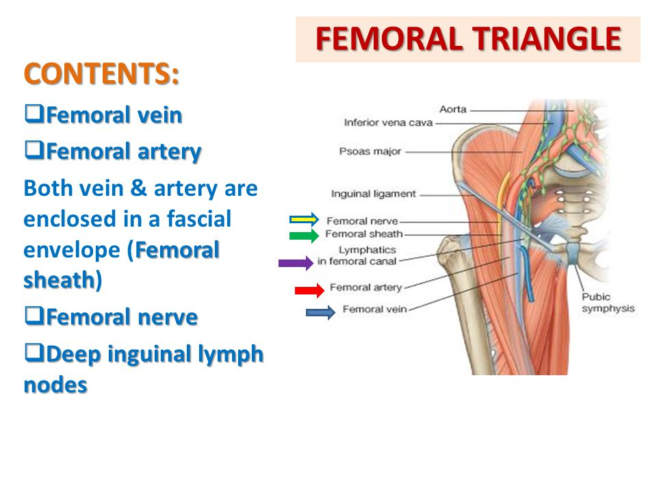 FEMORAL TRIANGLE CONTENTS: Femoral vein Femoral artery