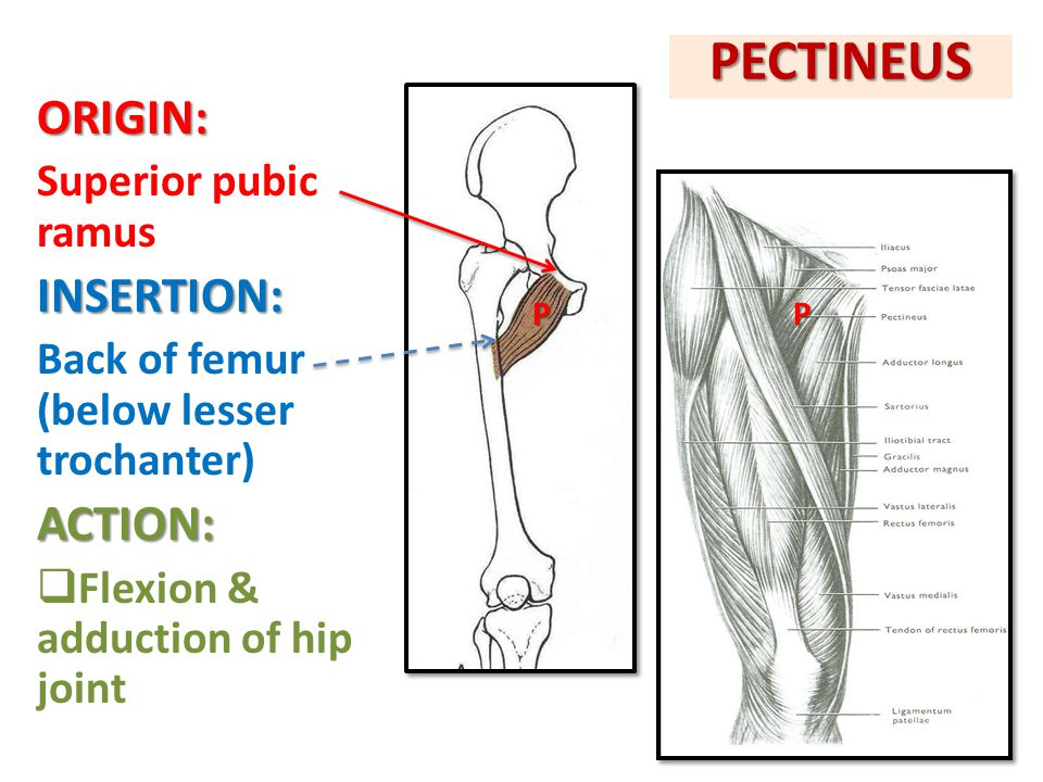 PECTINEUS ORIGIN: INSERTION: ACTION: Superior pubic ramus