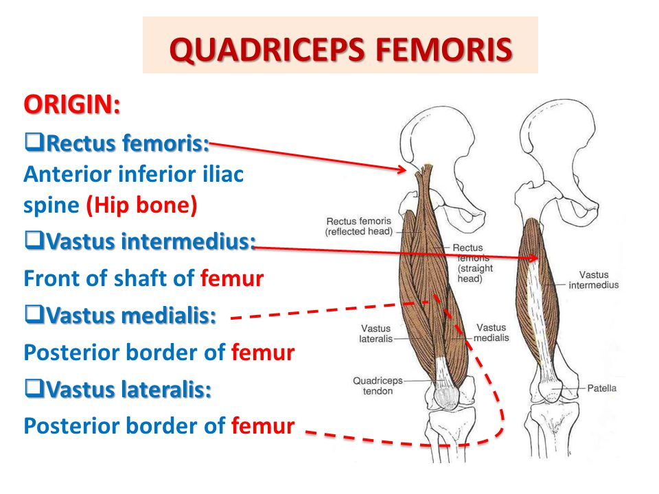 QUADRICEPS FEMORIS ORIGIN: