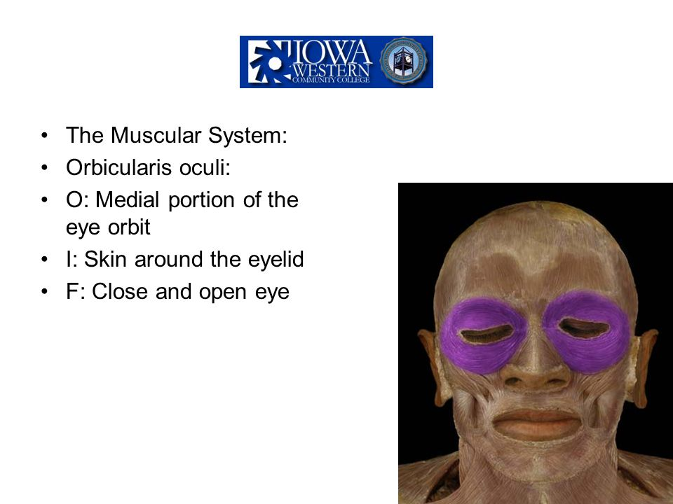 The Muscular System: Orbicularis oculi: O: Medial portion of the eye orbit. I: Skin around the eyelid.
