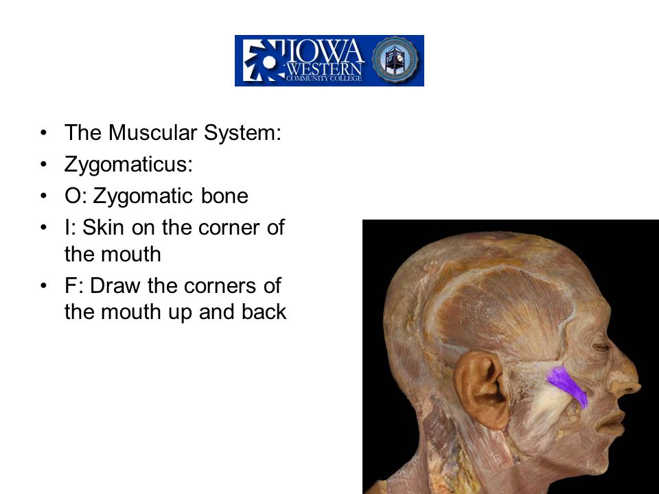 The Muscular System: Zygomaticus: O: Zygomatic bone.