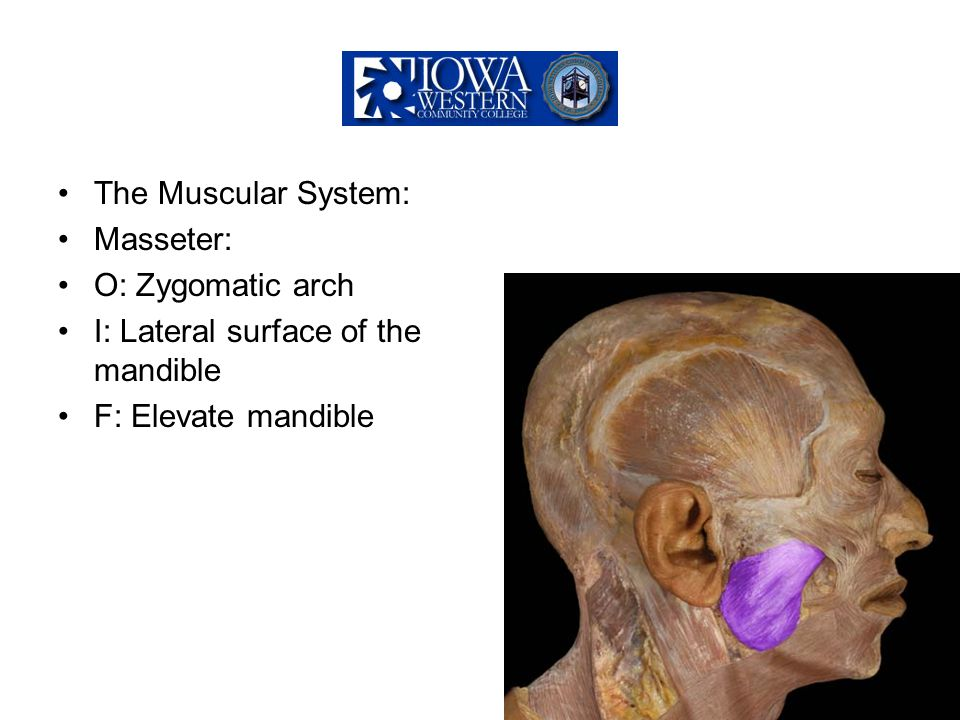 The Muscular System: Masseter: O: Zygomatic arch.