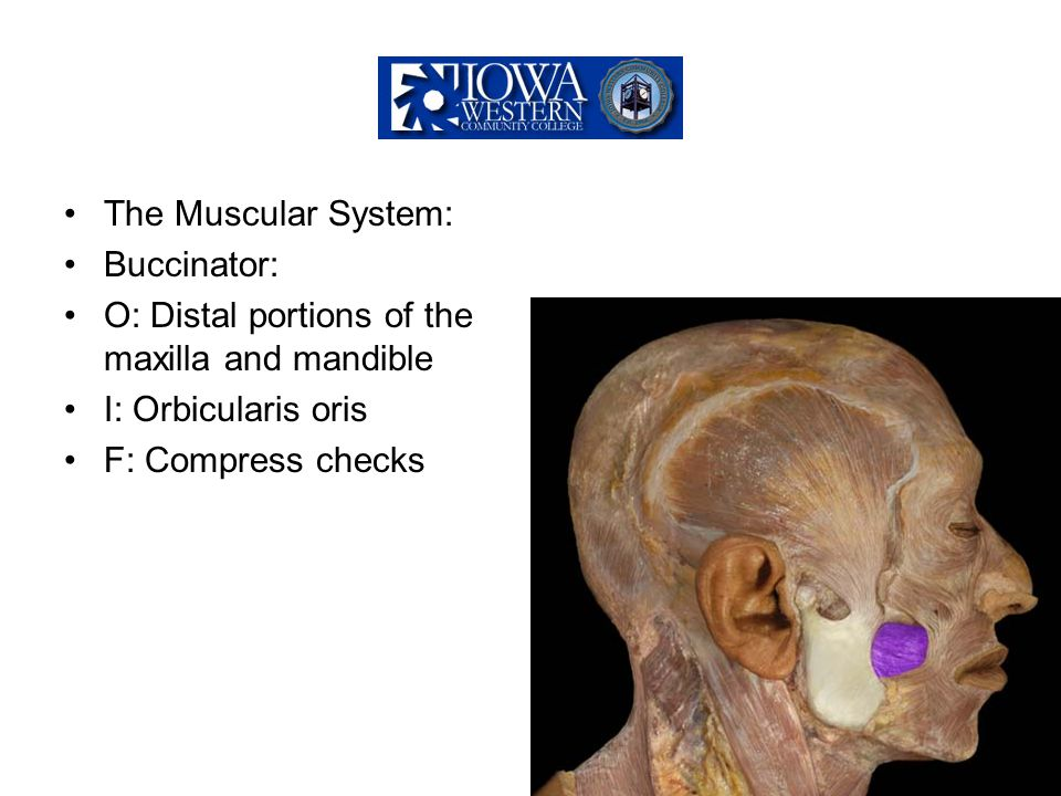 The Muscular System: Buccinator: O: Distal portions of the maxilla and mandible. I: Orbicularis oris.