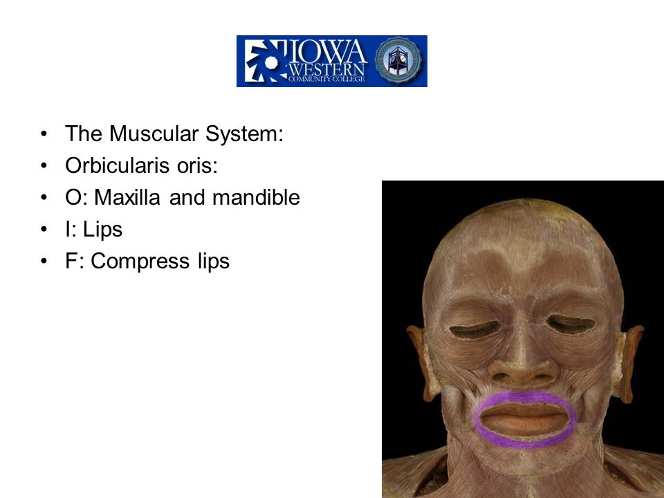 The Muscular System: Orbicularis oris: O: Maxilla and mandible I: Lips F: Compress lips