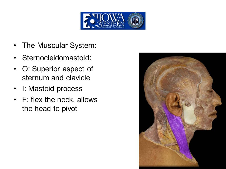 The Muscular System: Sternocleidomastoid: O: Superior aspect of sternum and clavicle. I: Mastoid process.
