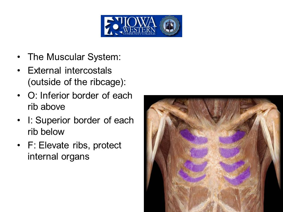 The Muscular System: External intercostals (outside of the ribcage): O: Inferior border of each rib above.