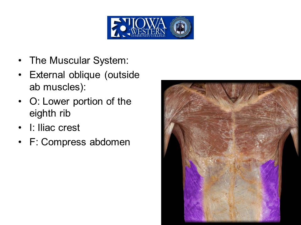 The Muscular System: External oblique (outside ab muscles): O: Lower portion of the eighth rib. I: Iliac crest.