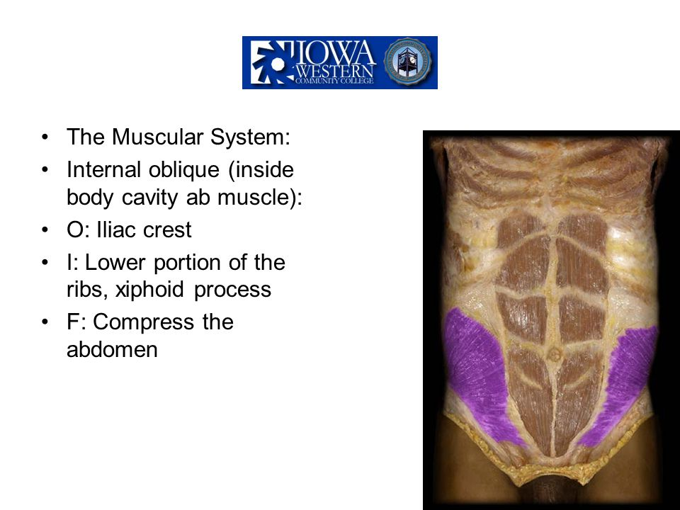 The Muscular System: Internal oblique (inside body cavity ab muscle): O: Iliac crest. I: Lower portion of the ribs, xiphoid process.