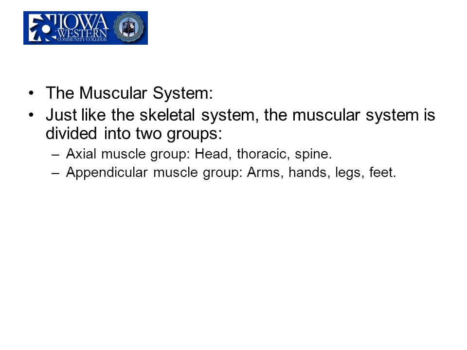 The Muscular System: Just like the skeletal system, the muscular system is divided into two groups:
