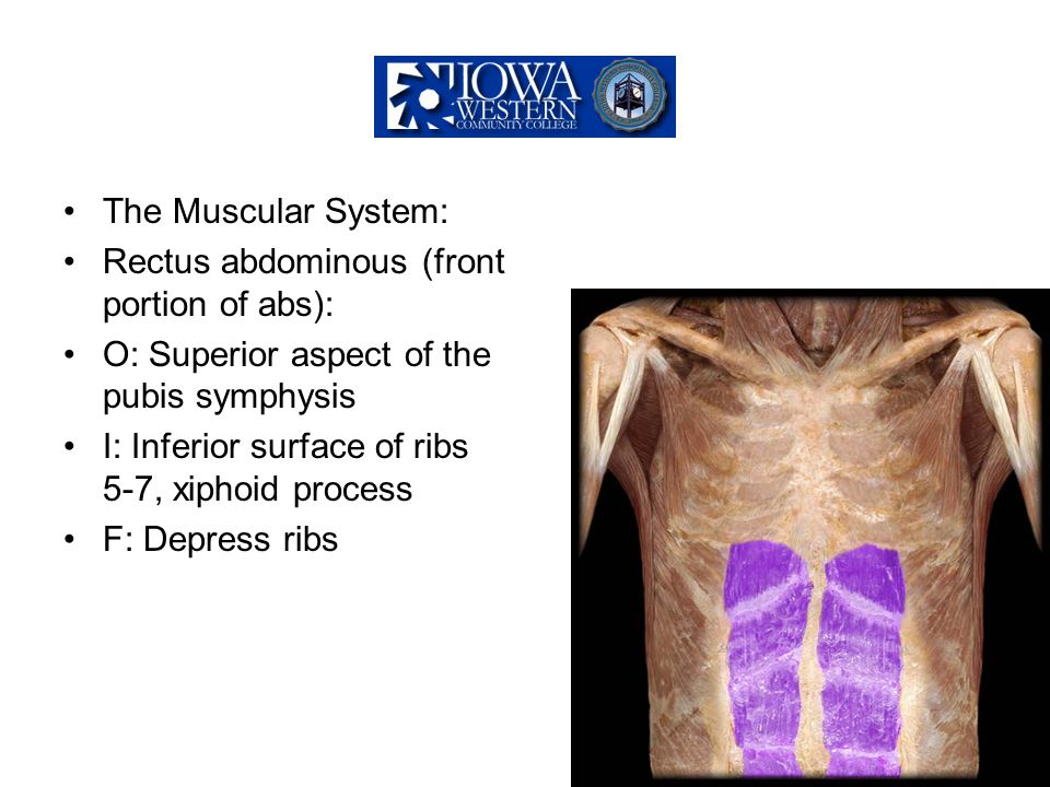 The Muscular System: Rectus abdominous (front portion of abs): O: Superior aspect of the pubis symphysis.