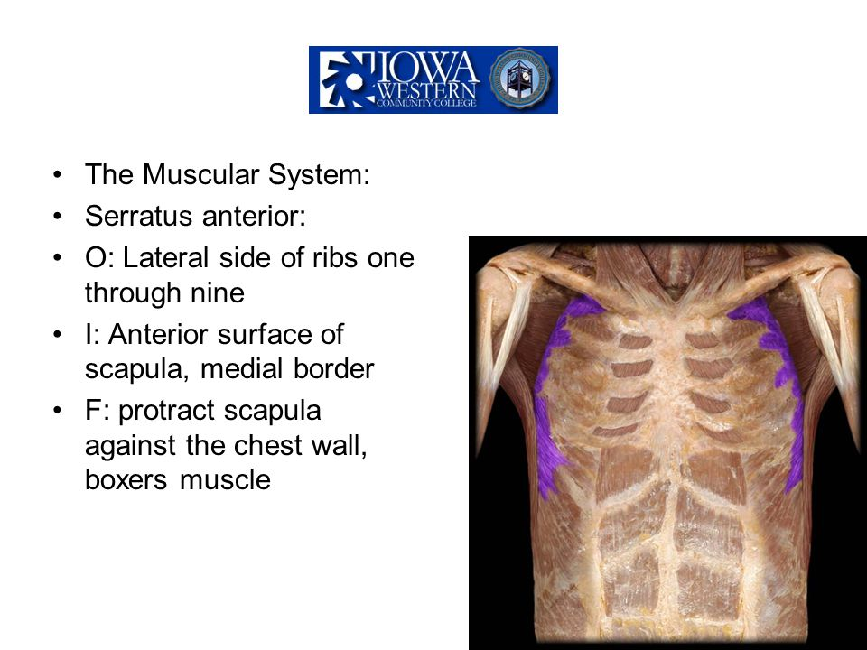 The Muscular System: Serratus anterior: O: Lateral side of ribs one through nine. I: Anterior surface of scapula, medial border.
