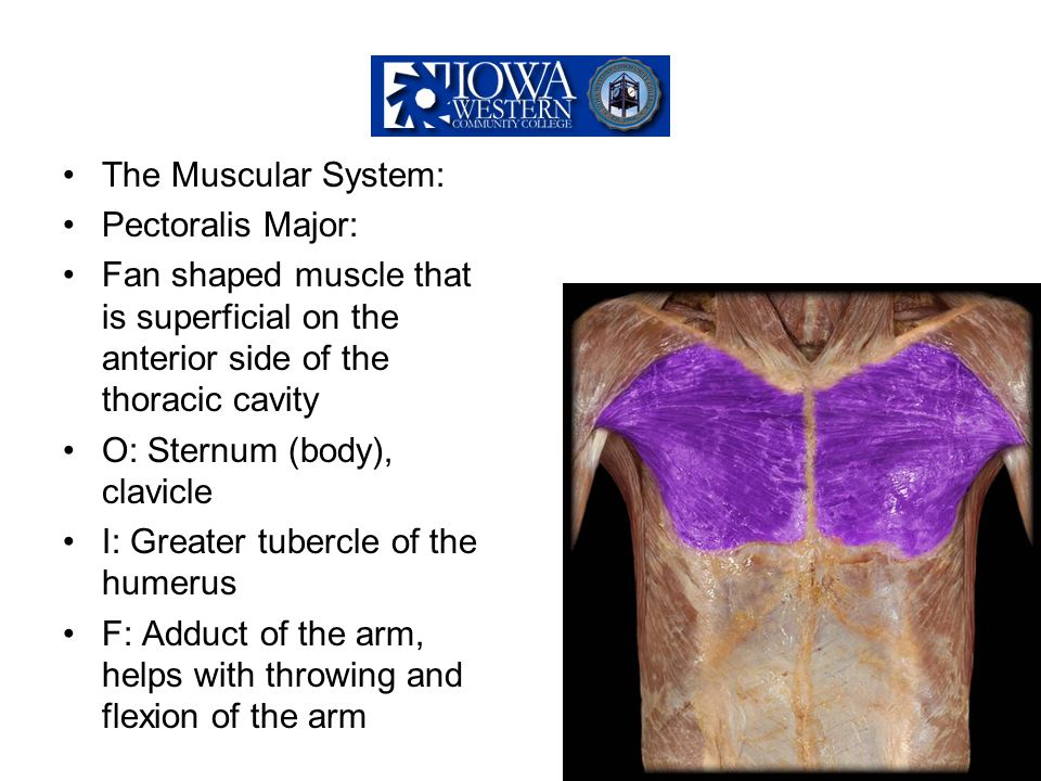 The Muscular System: Pectoralis Major: Fan shaped muscle that is superficial on the anterior side of the thoracic cavity.