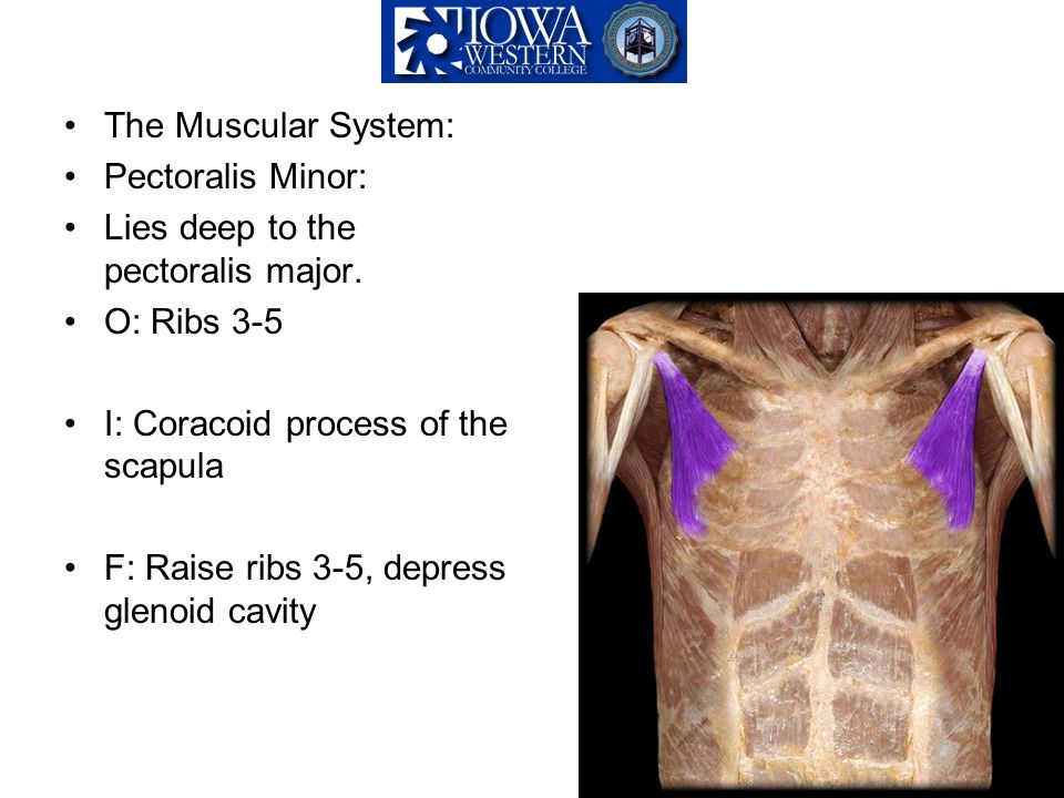The Muscular System: Pectoralis Minor: Lies deep to the pectoralis major. O: Ribs 3-5. I: Coracoid process of the scapula.