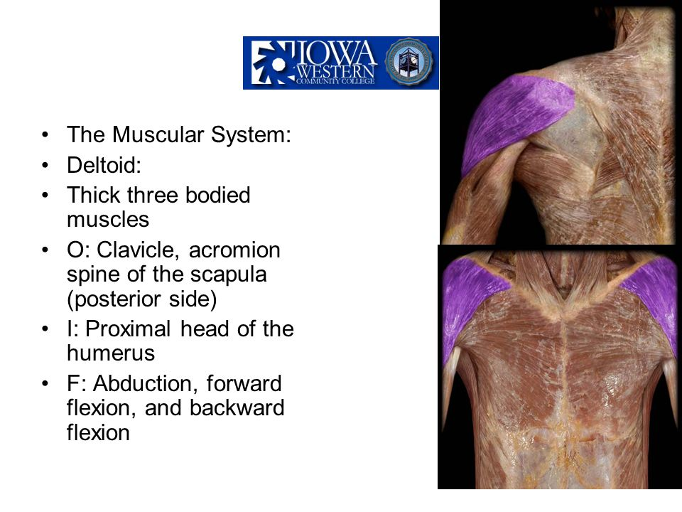 The Muscular System: Deltoid: Thick three bodied muscles. O: Clavicle, acromion spine of the scapula (posterior side)