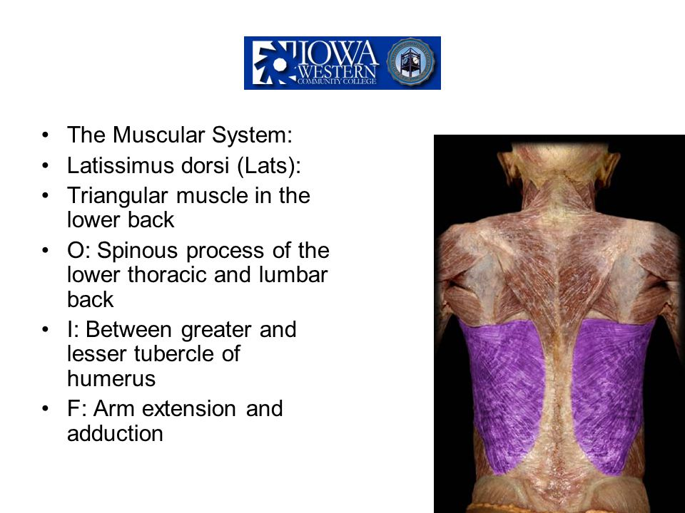 The Muscular System: Latissimus dorsi (Lats): Triangular muscle in the lower back. O: Spinous process of the lower thoracic and lumbar back.