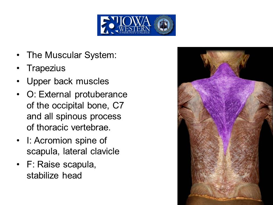 The Muscular System: Trapezius. Upper back muscles.