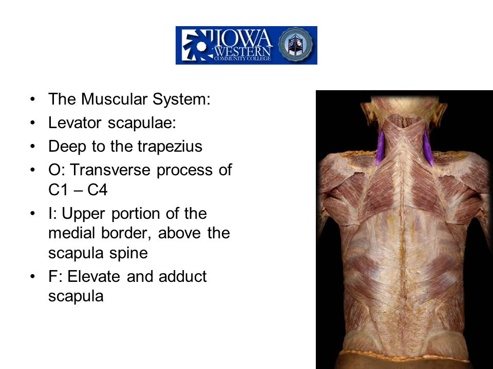 The Muscular System: Levator scapulae: Deep to the trapezius. O: Transverse process of C1 – C4.