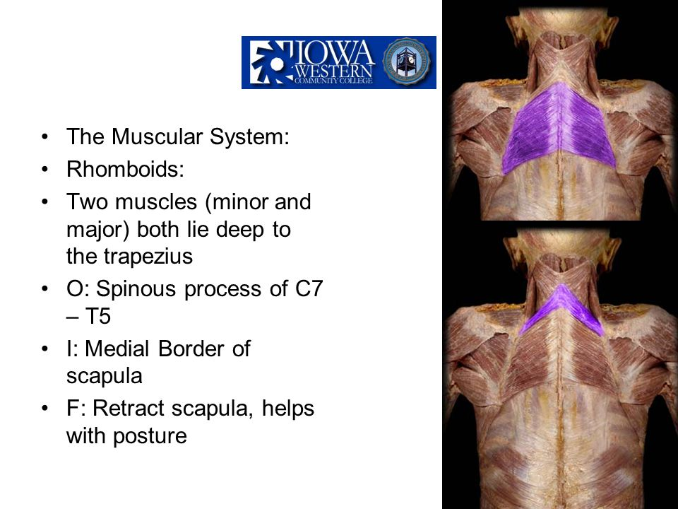 The Muscular System: Rhomboids: Two muscles (minor and major) both lie deep to the trapezius. O: Spinous process of C7 – T5.