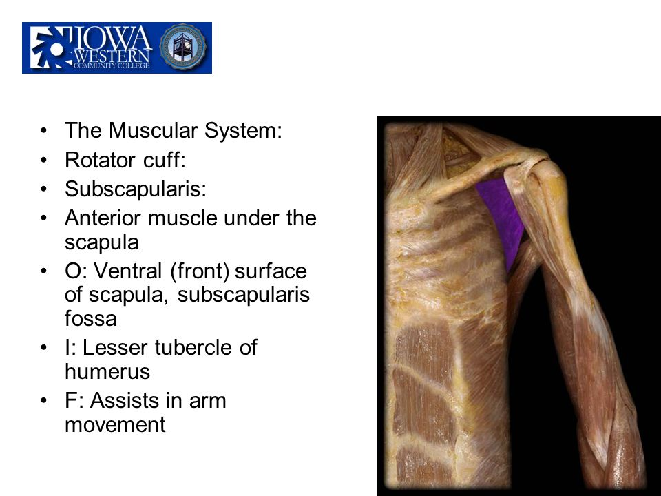 The Muscular System: Rotator cuff: Subscapularis: Anterior muscle under the scapula. O: Ventral (front) surface of scapula, subscapularis fossa.
