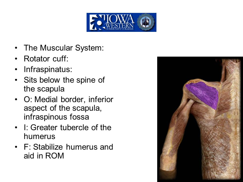 The Muscular System: Rotator cuff: Infraspinatus: Sits below the spine of the scapula.