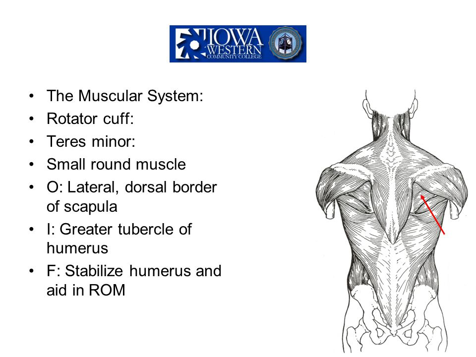 The Muscular System: Rotator cuff: Teres minor: Small round muscle. O: Lateral, dorsal border of scapula.