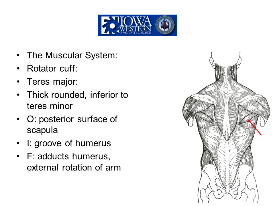 The Muscular System: Rotator cuff: Teres major: Thick rounded, inferior to teres minor. O: posterior surface of scapula.