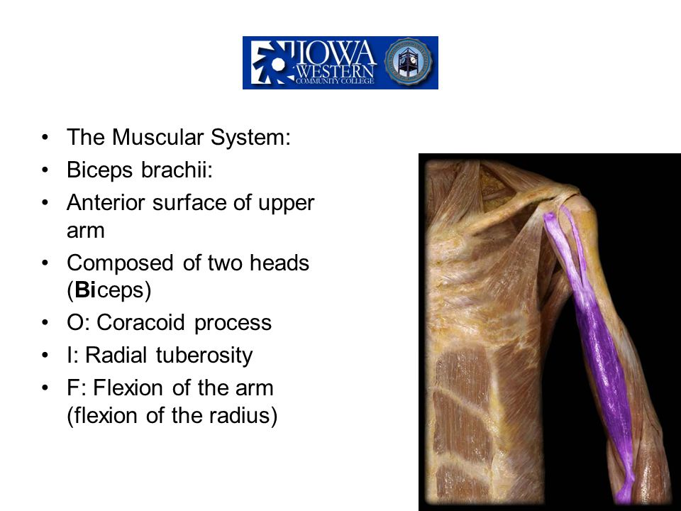 The Muscular System: Biceps brachii: Anterior surface of upper arm. Composed of two heads (Biceps)