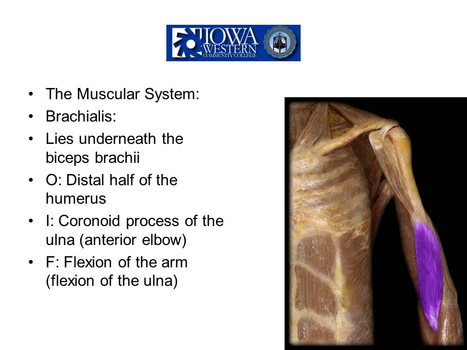 The Muscular System: Brachialis: Lies underneath the biceps brachii. O: Distal half of the humerus.