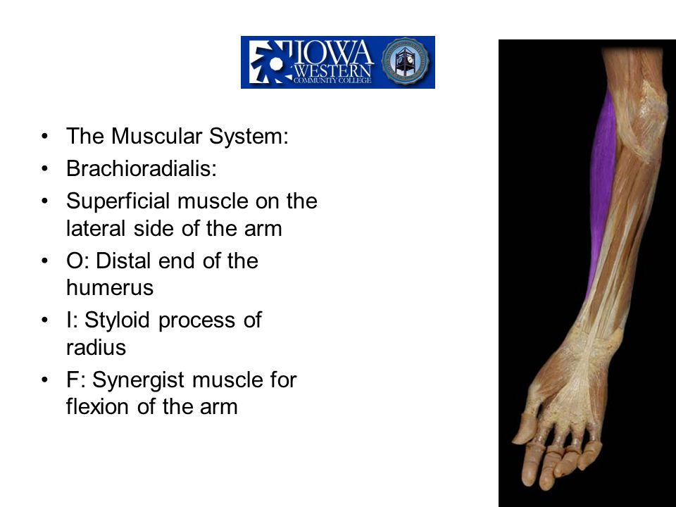 The Muscular System: Brachioradialis: Superficial muscle on the lateral side of the arm. O: Distal end of the humerus.