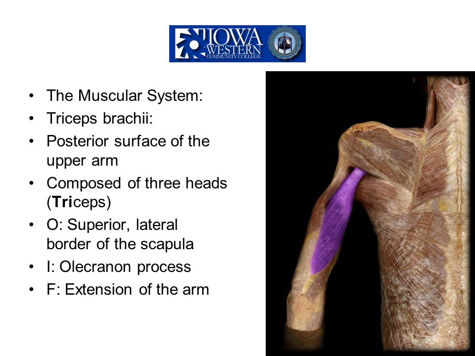 The Muscular System: Triceps brachii: Posterior surface of the upper arm. Composed of three heads (Triceps)