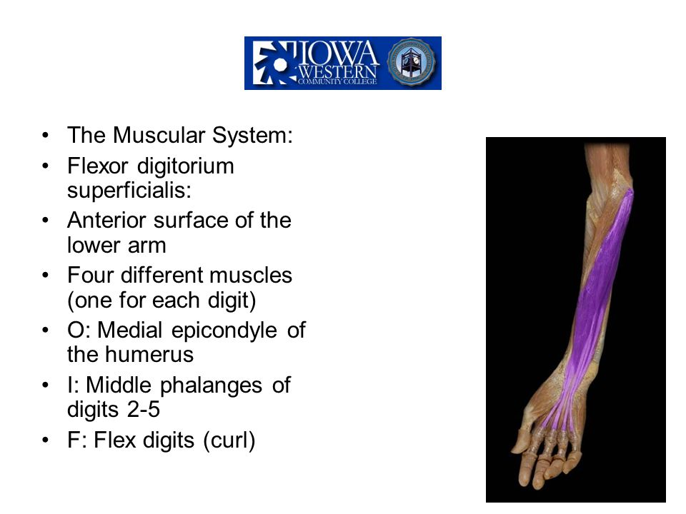 The Muscular System: Flexor digitorium superficialis: Anterior surface of the lower arm. Four different muscles (one for each digit)