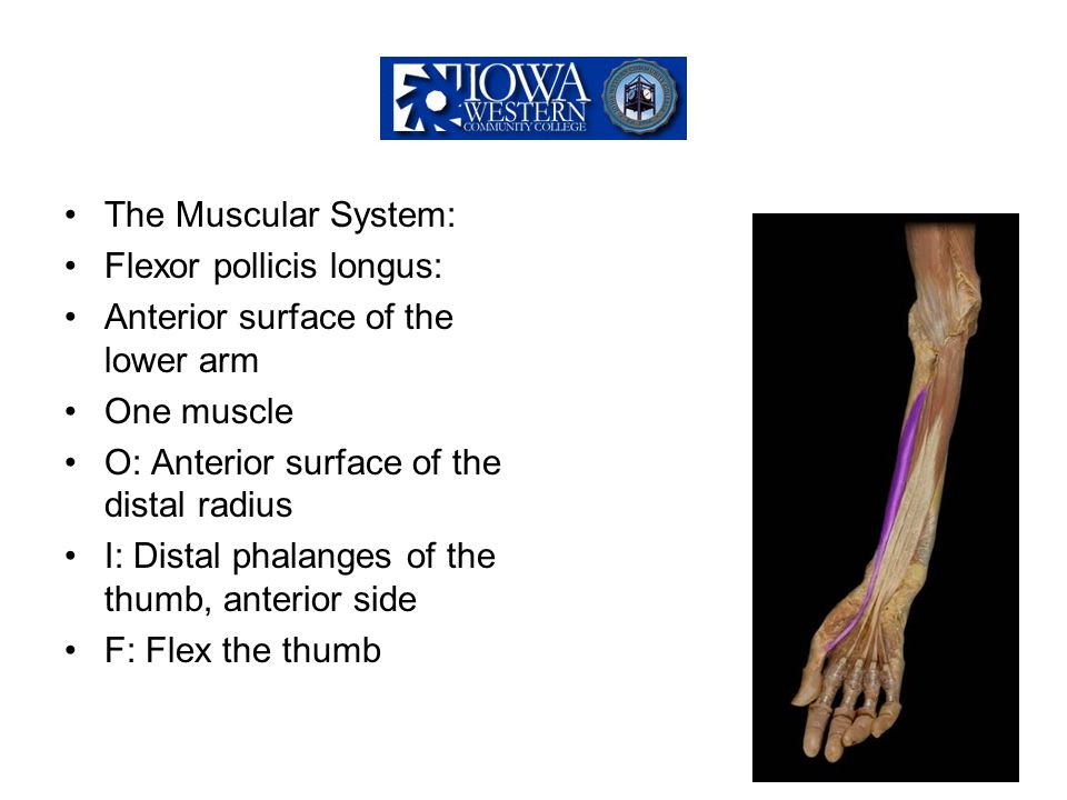 The Muscular System: Flexor pollicis longus: Anterior surface of the lower arm. One muscle. O: Anterior surface of the distal radius.