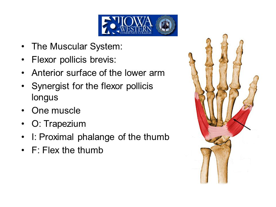 The Muscular System: Flexor pollicis brevis: Anterior surface of the lower arm. Synergist for the flexor pollicis longus.