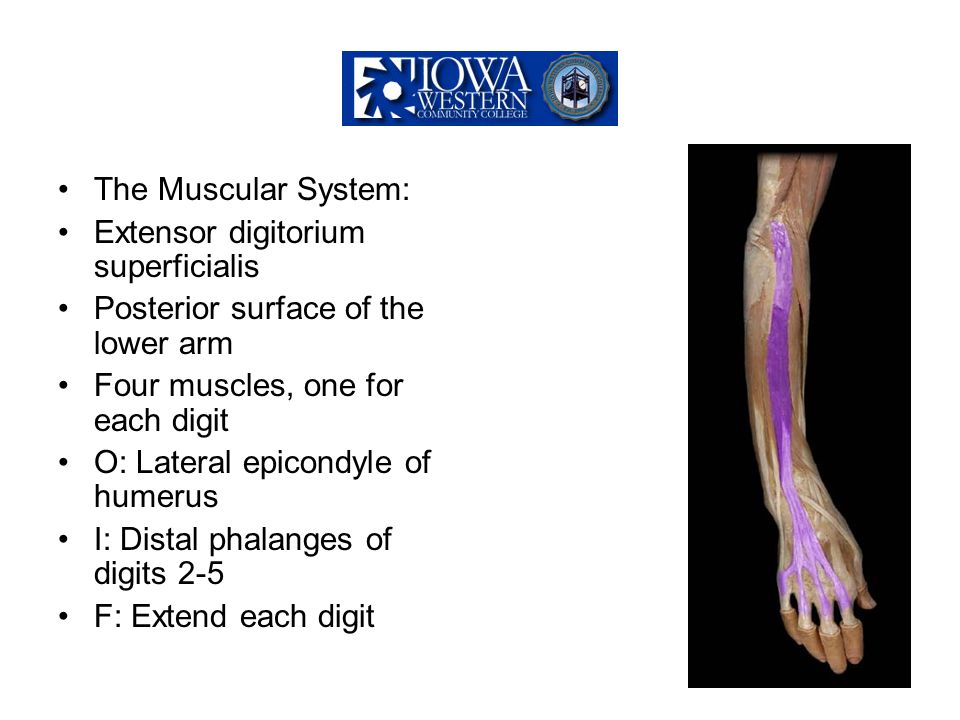 The Muscular System: Extensor digitorium superficialis. Posterior surface of the lower arm. Four muscles, one for each digit.