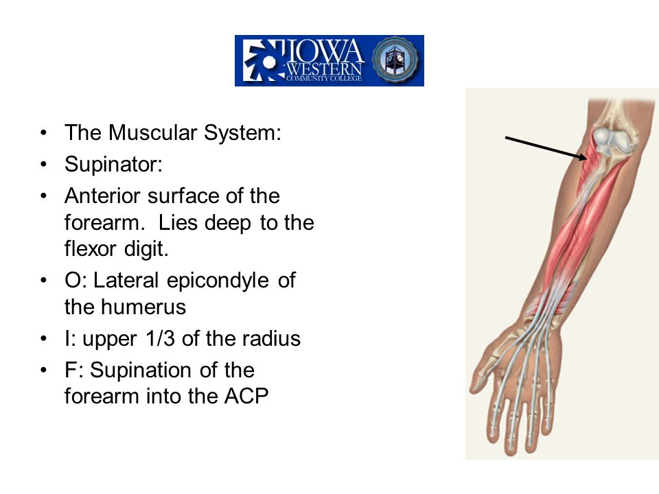 The Muscular System: Supinator: Anterior surface of the forearm. Lies deep to the flexor digit. O: Lateral epicondyle of the humerus.