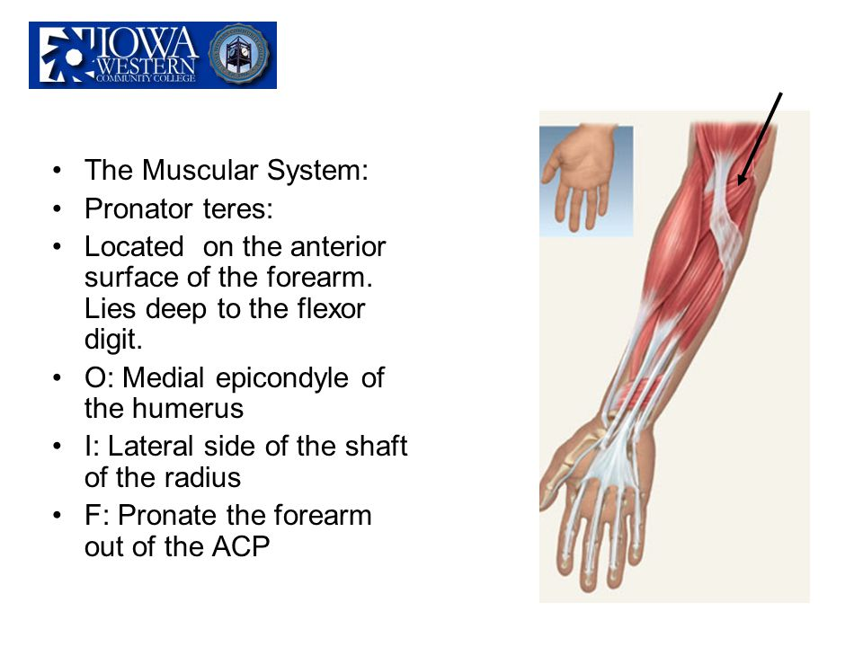 The Muscular System: Pronator teres: Located on the anterior surface of the forearm. Lies deep to the flexor digit.