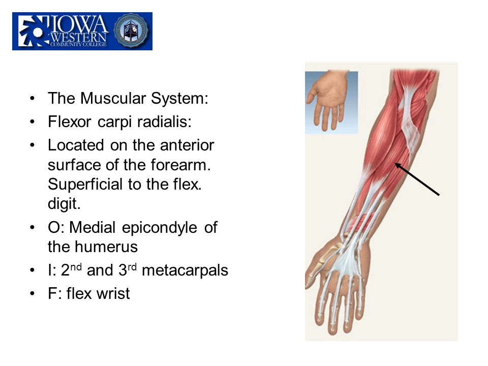 The Muscular System: Flexor carpi radialis: Located on the anterior surface of the forearm. Superficial to the flex. digit.