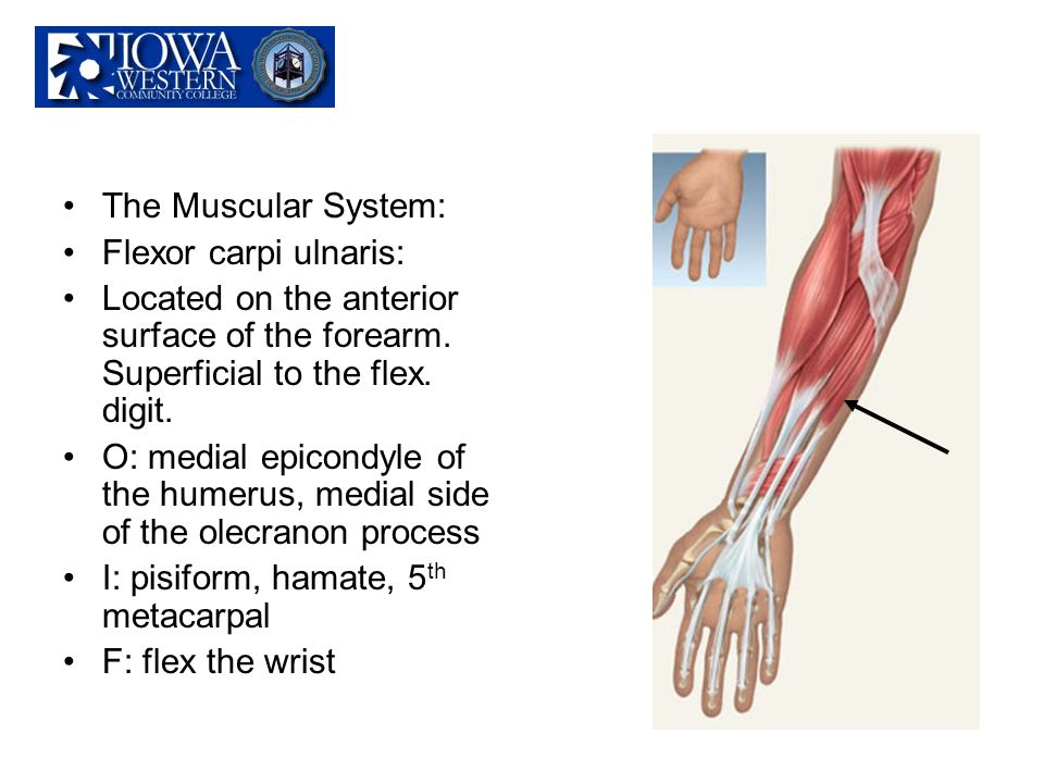 The Muscular System: Flexor carpi ulnaris: Located on the anterior surface of the forearm. Superficial to the flex. digit.