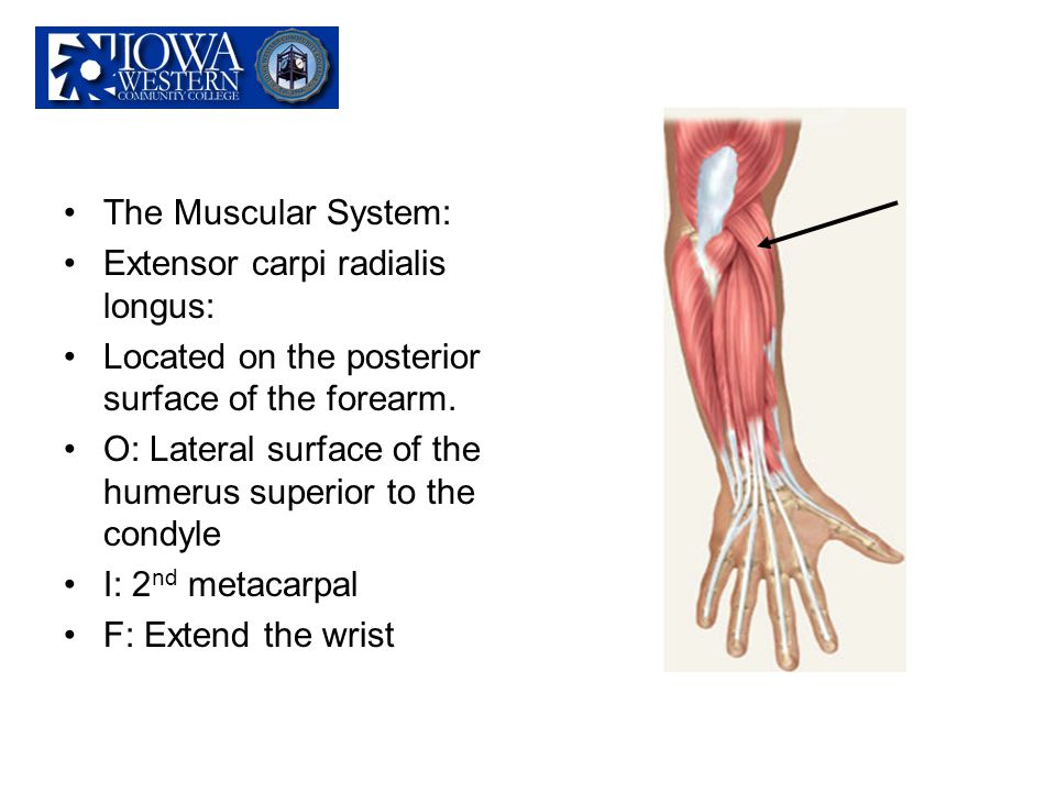 The Muscular System: Extensor carpi radialis longus: Located on the posterior surface of the forearm.