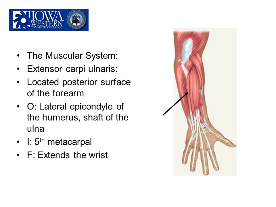 The Muscular System: Extensor carpi ulnaris: Located posterior surface of the forearm. O: Lateral epicondyle of the humerus, shaft of the ulna.