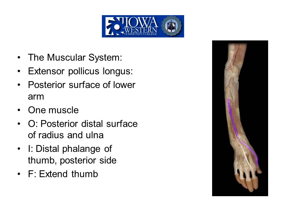 The Muscular System: Extensor pollicus longus: Posterior surface of lower arm. One muscle. O: Posterior distal surface of radius and ulna.