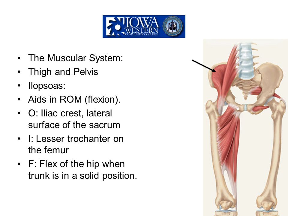 The Muscular System: Thigh and Pelvis. Ilopsoas: Aids in ROM (flexion). O: Iliac crest, lateral surface of the sacrum.